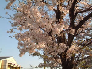 Cherry blossom-Spring time in Japan